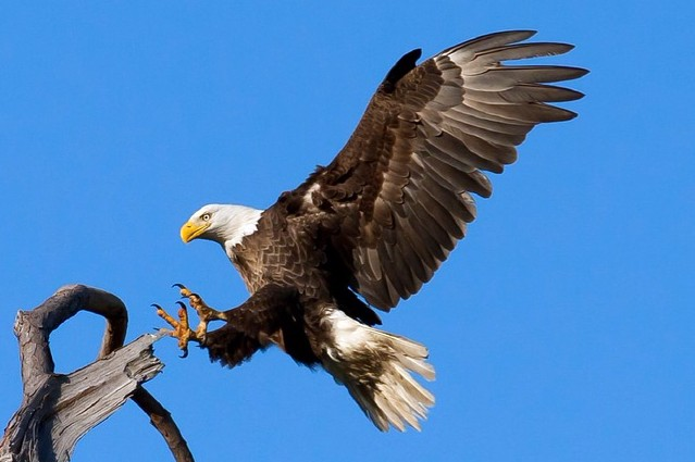 bald-eagle-1624943_960_720