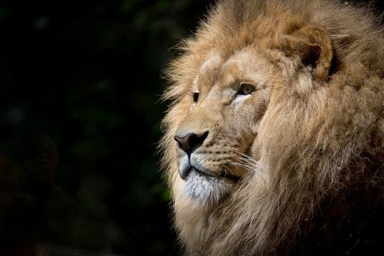 lion-1118467_960_720